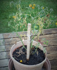 wilted tomato 2