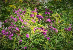 ragweed and phlox