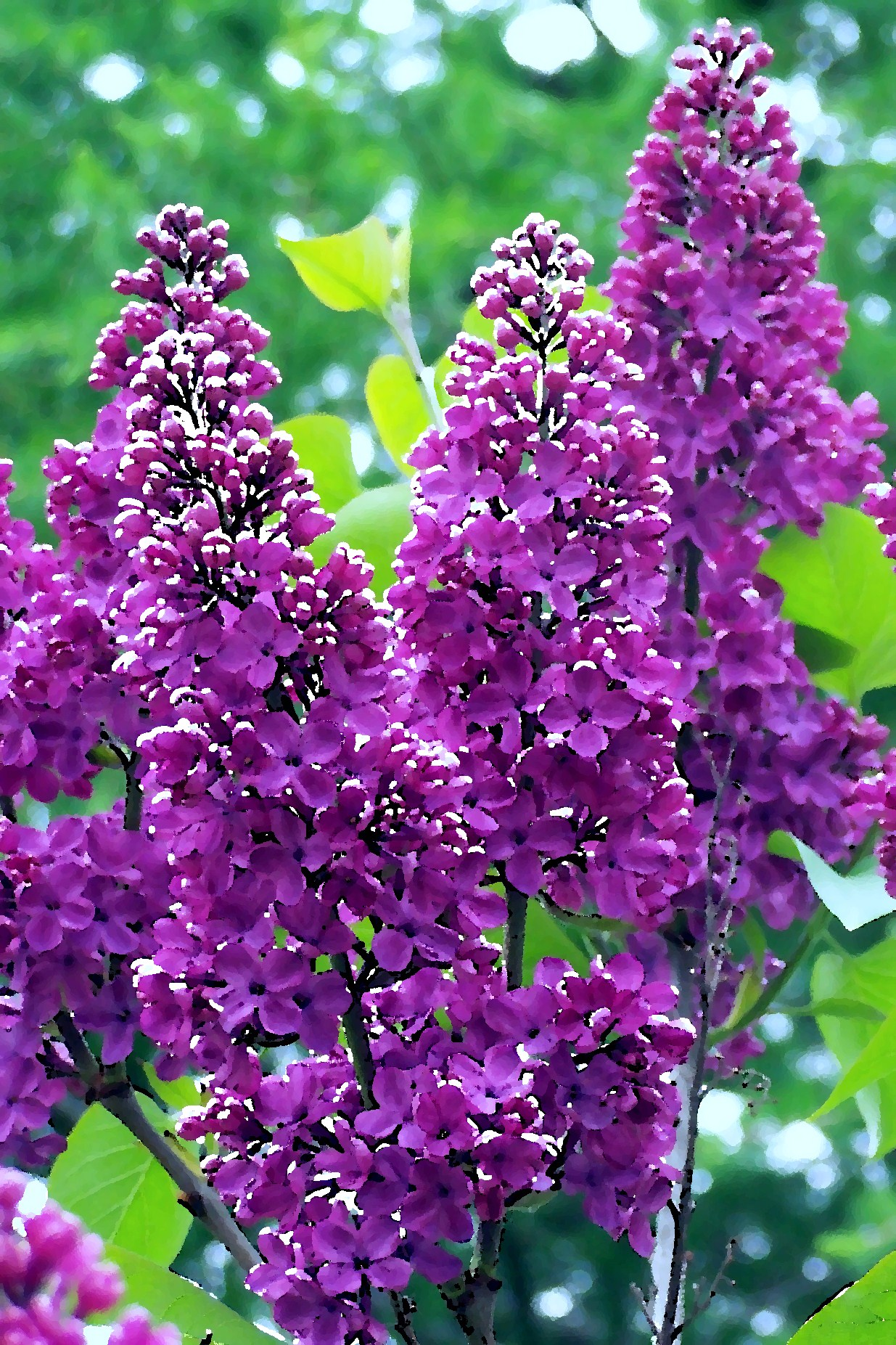 Appreciating god through the beauty of flowers jane ault although they have not yet opened i can smell the fragrance of lilacs that line the edge of my driveway izmirmasajfo Images